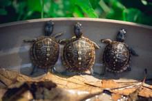 Baby Three Toad Box Turtles