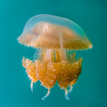 Close Up Detail Golden Jellyfish On Blue Turquoise Underwater Background.
