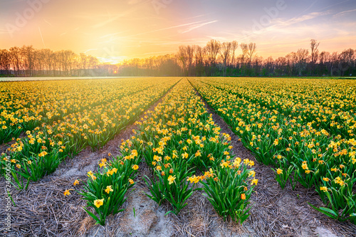 Foto auf Gartenposter Narzisse Colorful blooming flower field with yellow Narcissus or daffodil during sunset.