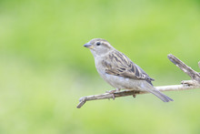 Passer Domesticus Perched On A Branch Backyard Home Feeder