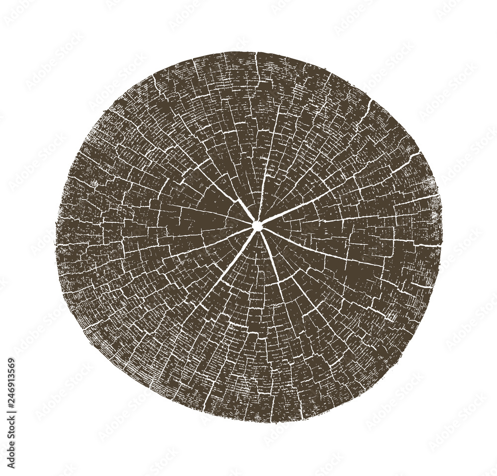 Fototapety, obrazy: Wood texture of growth ring pattern from a slice of tree. Cut monotone wooden stump isolated on white.