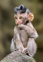 Long Tailed Macaque Monkey,sacred Monkey Forest, Bali,Indonesia
