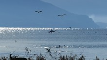 Group Of Cormorants Diving In ...