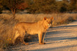canvas print picture - Young male African lion (Panthera leo) in late afternoon light, South Africa.