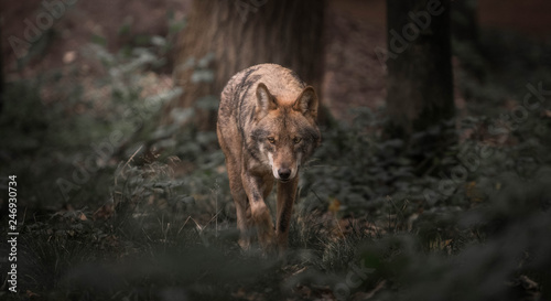 Photo sur Toile Loup Wolf walking in the woods
