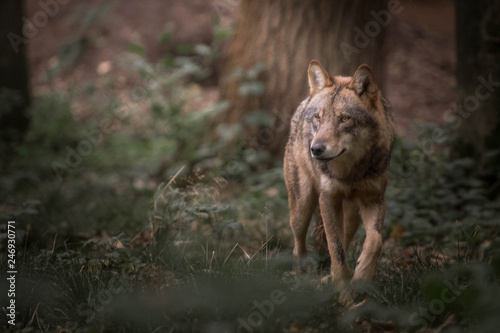 Aluminium Prints Wolf Wolf in the forest
