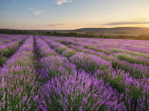 Fototapety, obrazy: Meadow of lavender.