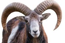 Ibex On White Background