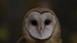 Barn owl extreme slow motion look at camera