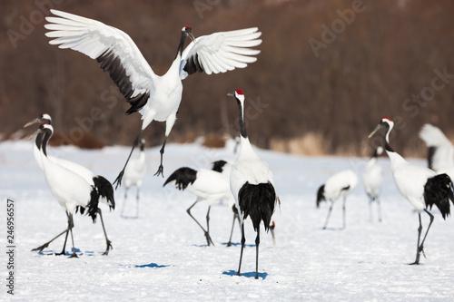 Red-crowned crane bird dancing on snow and flying in Kushiro, Hokkaido island, J Wallpaper Mural