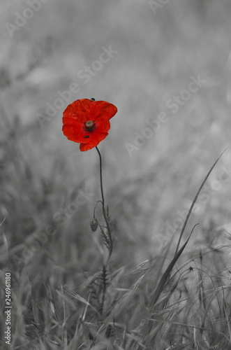 czerwony-makowy-kwiat-na-czarno-bialym-tle
