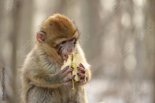 Fotografie, Obraz  junger Affe beim Fressen