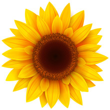 Sunflower Isolated, Vector Ill...