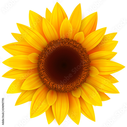 Sunflower isolated, vector illustration. Canvas