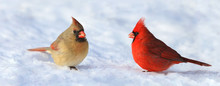 Couple Of Red Cardinal In Snow During Winter