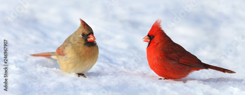 Fotografía couple of red cardinal in snow during winter