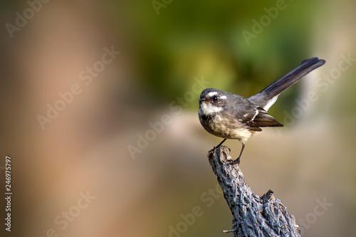 Cuadros en Lienzo  Grey Fantail - Rhipidura albiscapa - small insectivorous bird