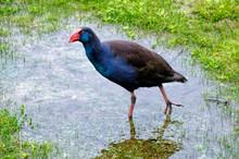 Purple Swamp Hen (Porphyrio Po...