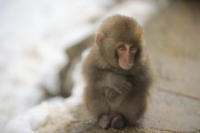 A Baby Monkey Shivering In Sno...
