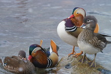 2 Couples Of Mandarin Ducks At Winter Home