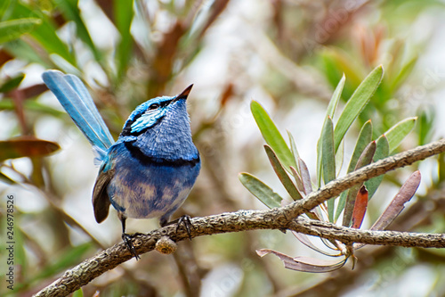 Male Splendid Fairy Wren, Malurus splendens, Western Australia Tablou Canvas