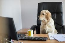 Dog Golden Retrievers Working In Office