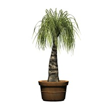 Ponytail Palm In The Clay Pot ...
