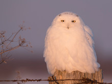 Male Snowy Owl Perching On A P...