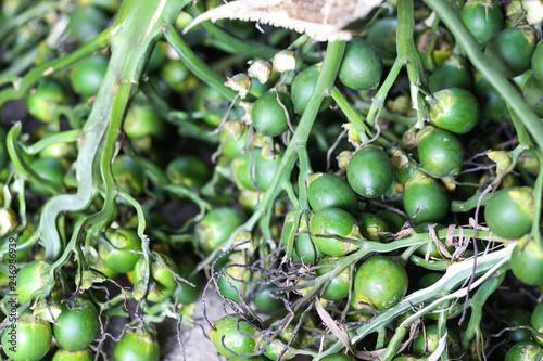 Areca nut or betel nut background  - Buy this stock photo