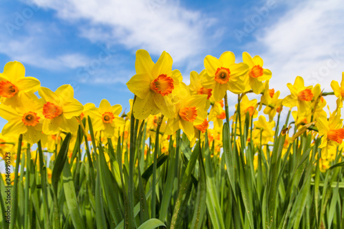 Keuken foto achterwand Narcis yellow dutch daffodil flowers close up low angle of view with blue sky background