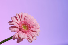 Single Pink Gerbera Flower -se...