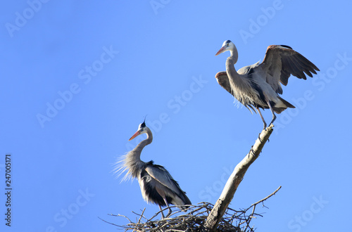 Αφίσα  Mated Pair of Great Blue Heron in Mateing Plummage on their Nest