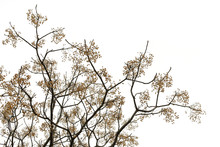 Chinaberry Tree Branches