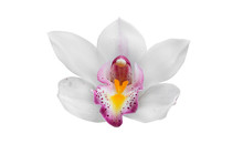 Close - Up Of Orchid (Paphiopedilum Maudiae) Isolated On White Background - Clipping Paths.