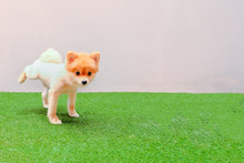 Cute Small Pomeranian Dog Peeing In The Park ,Dog Is Urinating
