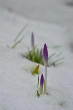 Beautiful Purple Crocus Flower...