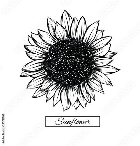 Sunflower Isolated On White Background Antique Engraving Drawing Illustration Of Big Flower Vector Illustration And Clip Art On White Backgrounds Idea For Business Visit Card Typography Vector Prin Buy This Stock Vector And Explore,Boneless Ribs In Oven