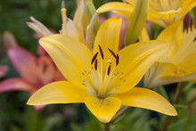 Asiatic Lily Group