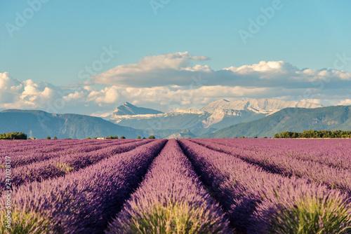 Lavender 31 - 247028137