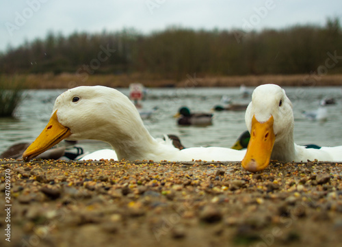 Photo  Large White Heavy Ducks, Amercan, Pekin, Aylesbury, Feeding on Lake