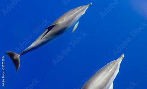 Plakat Butelkuj nos delfiny latające w czystej wodzie oceanu atlantyckiego
