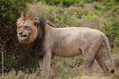 Valokuvatapetti male lion in umfolozi National Par, South Africa