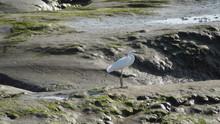 White Egret Bird  On Mud Flats