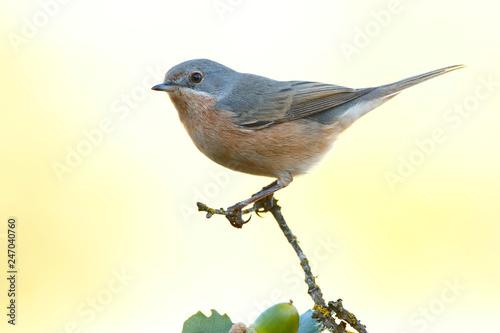 Fotomural  Subalpine warbler male