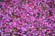 Petals of Camellia japonica in spring, Italy