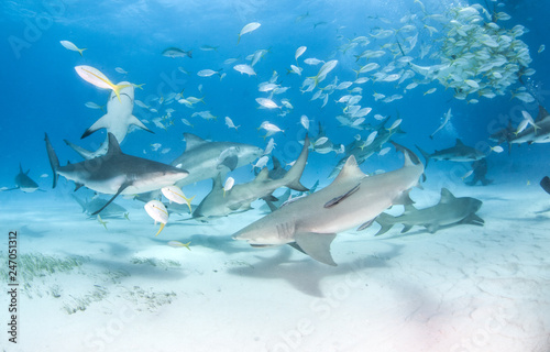 Caribbean reef shark and lemon shark at the Bahamas