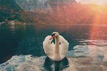 Swan Portrait. Mute Swan (Cygnus Olor) Gliding Across Lake Hallstatt Austria In Sunrise Morning Light. Amazing Morning Scene, Misty Morning. Beautiful Majestic Swan On The Austian Alps Lake