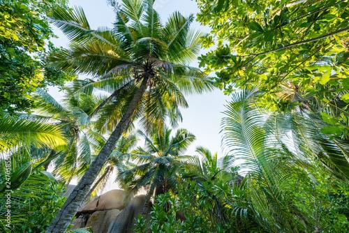 Coco de Mer Palme, Praslin, Seychellen