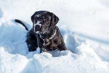 A Black Dog Lablador In Snow