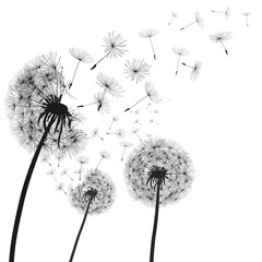 Fototapeta Współczesny Abstract black dandelion, dandelion with flying seeds illustration - vector
